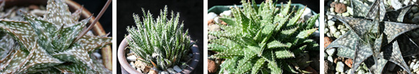 Aloe descoingsii (left) and A. haworthioides (left center) are popular, easy dwarfs from Madagascar that are frequently used in breeding programs. A. Pepe (right center) is a first generation hybrid of the two. Aloe Winter Sky, with white snowflakes against a grey sky, is another A. descoingsii hybrid.