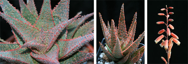 Aloe Medium Well Done (left) by Kelly Griffin and A. DZ (center and right) by Karen Zimmerman show the seemingly impossible colors and textures being created by modern hybridizers. These hybrids have lengthy lineages and complex parentage.