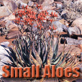 Small Aloes – Interesting, Colorful, and Easy Succulents Title Image
