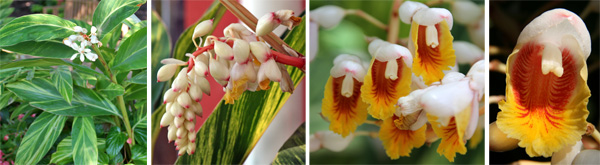 Alpinia zerumbet produces flowers in a terminal raceme (L), with drooping white flowers (LC) that each have a yellow and red interior (RC and R).