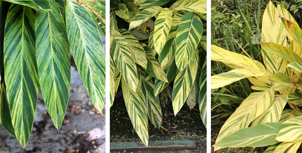 The amount of variegation on the leaves varies a lot.