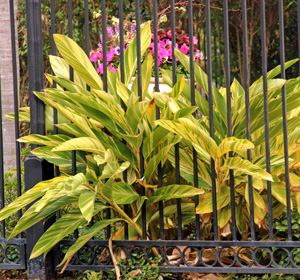 Variegated shell ginger is widely used as a tough landscape in mild climates.