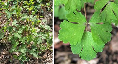 Basal foliage (L) and leaf (R).