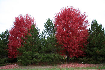 A mix of conifers and deciduous trees.