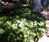 Wild ginger makes a good ground cover in shade.