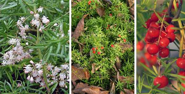 Small, pinkish-white flowers (L) are followed by red berries (C and R).