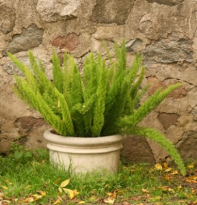 Meyeri asparagus fern in a container