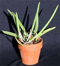 Brassavola nodosa is easy to grow as a houseplant.