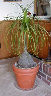 Ponytail palm makes a nice houseplant