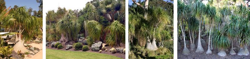 Ponytail palms planted in the ground at Quail Botanical Gardens, Encinitas, CA (L), Totara Waters, Auckland, New Zealand (LC), at the San Diego Zoo (RC), and at Lotusland, Santa Barbara, CA (R)