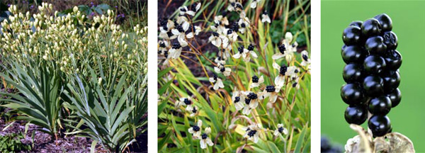 The flowers are followed by numerous seedpods, which open up to reveal the black seed clusters resembling blackberries that give rise to the common name of blackberry lily.