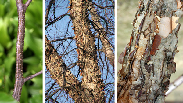 The branches of river birch are smooth with many lenticels (L), but the trunk and older branches are scaly or peeling (C and R), with variable color.