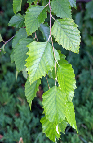 The leaves are diamond-shaped.