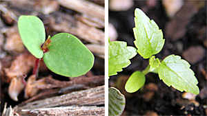 River birch seedling (L) and very young plant (R).