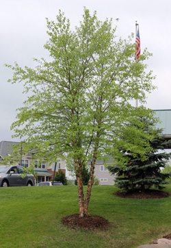 River Birch Betula Nigra Has Graceful Form And Attractive Bark