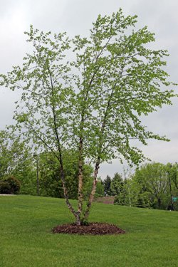 River birch should be planted in in full sun.