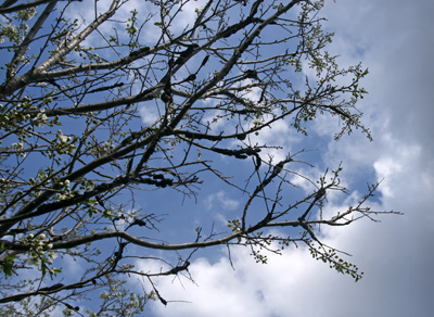 Remove very susceptible trees from the landscape, if possible, to limit problems with black knot.