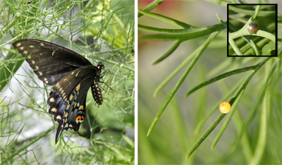 Female butterflies lay eggs on the larval host plants (L). The yellow eggs (R) turn dark right before hatching (insert).