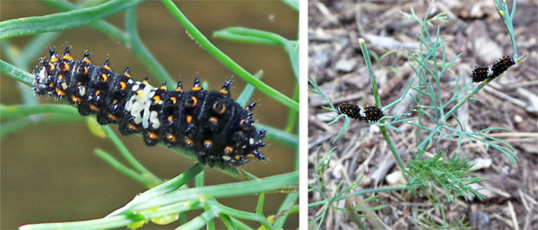 The early instar caterpillars are black and spiny with a white saddle (L), resembling bird droppings (R).