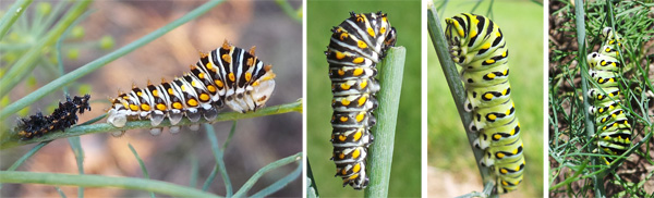 When the caterpillar molts from the 3rd to 4th instar it leaves the dark spiny form behind (L) and changes coloring (LC) to eventually become smooth and green with black markings (RC) that helps it blend in with the foliage (R).