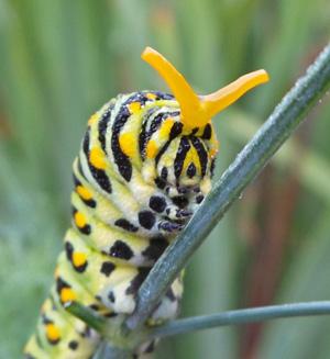 Swallowtail larvae have a eversible organ called the osmeterium for repelling predators.