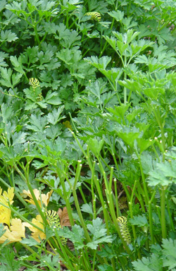 Parsley is a common host of the caterpillars in backyards.