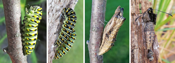 The mature caterpillar spins a slended silken band around its upper portion (L), to attach to a support (LC) where it changes in the pupal stage (RC). The adult will eventually emerge from the naked chrysalis (R).