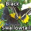 Black swallowtail, Papilio polyxenes Title Image