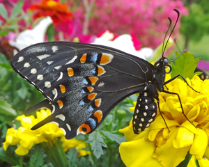 Both male and female black swallowtails have distinctive markings on the undersides of the wings and the characteristic tail.