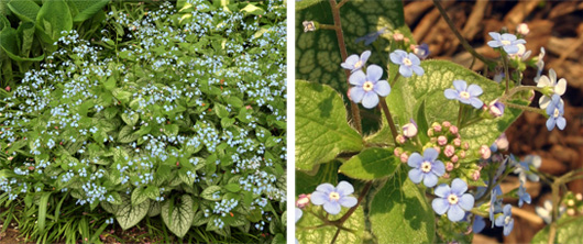 Jack Frost in bloom (L) and flowers (R).