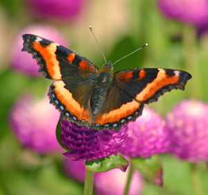 Butterflies add interest in a garden.