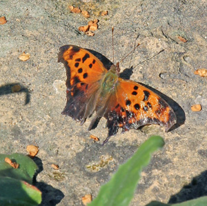 An eastern comma butterfly basks on a warm rock.