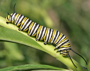 Every species needs it own type of food, such as milkweeds for this monarch caterpillar.