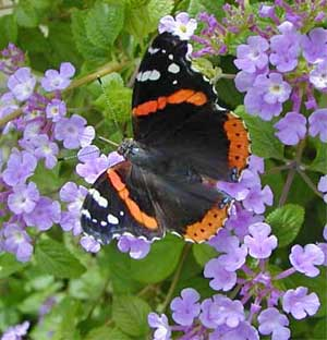 Lantana is an annual plant that is very attractive to butterflies.
