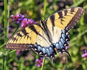 A swallowtail feeds on flower nectar.