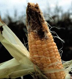 Damage to ear of corn by corn earworm.