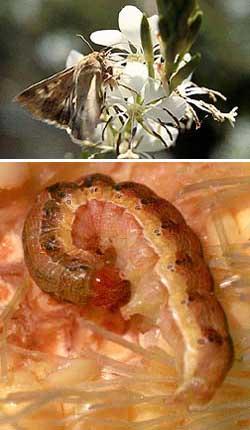 Top: A corn earworm moth sips nectar from a night-blooming Gaura plant. Photo by Juan Lopez, USDA-ARS image K8404-20. Bottom: A corn earworm caterpillar