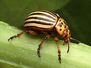 Colorado potato beetle enters diapause as days get shorter