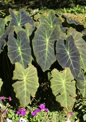 Elephant ears, Colocasia esculenta.
