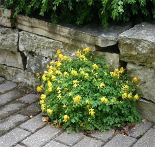 C. lutea readily self-seeds, often growing in cracks.