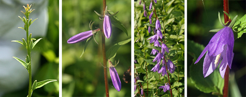 Creeping bellflower campanula rapunculoides master gardener program creeping bellflower produces clusters of flowers along the upright stems with nodding bell mightylinksfo