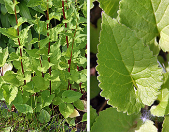 The heart-shaped leaves growing on the tall stems are irregularly toothed.