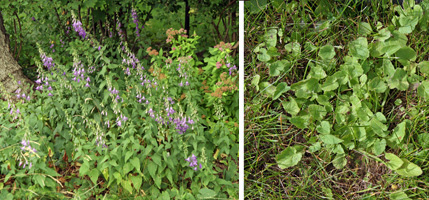 Creeping bellflower can be an aggressive weed in gardens and lawns.