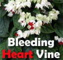 Bleeding Heart Vine, Clerodendrum thomsoniae Title Image
