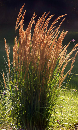 This grass is a low-maintenance perennial.