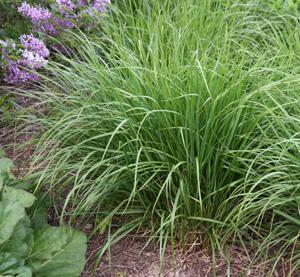 Feather Reed Grass Calamagrostis X Acutiflora Karl