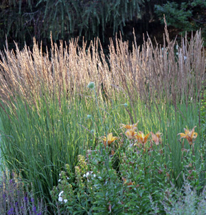 Karl Foerster feather reed grass is a good addition to a sunny perennial garden.