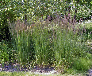 Feather reed grass performs best in full sun