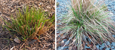 Growth begins early in the spring, so the clumps should be cut back in late winter.
