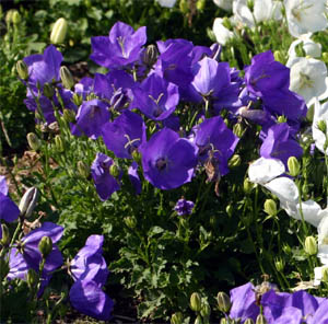 Blue Clips flowers for several weeks in summer.